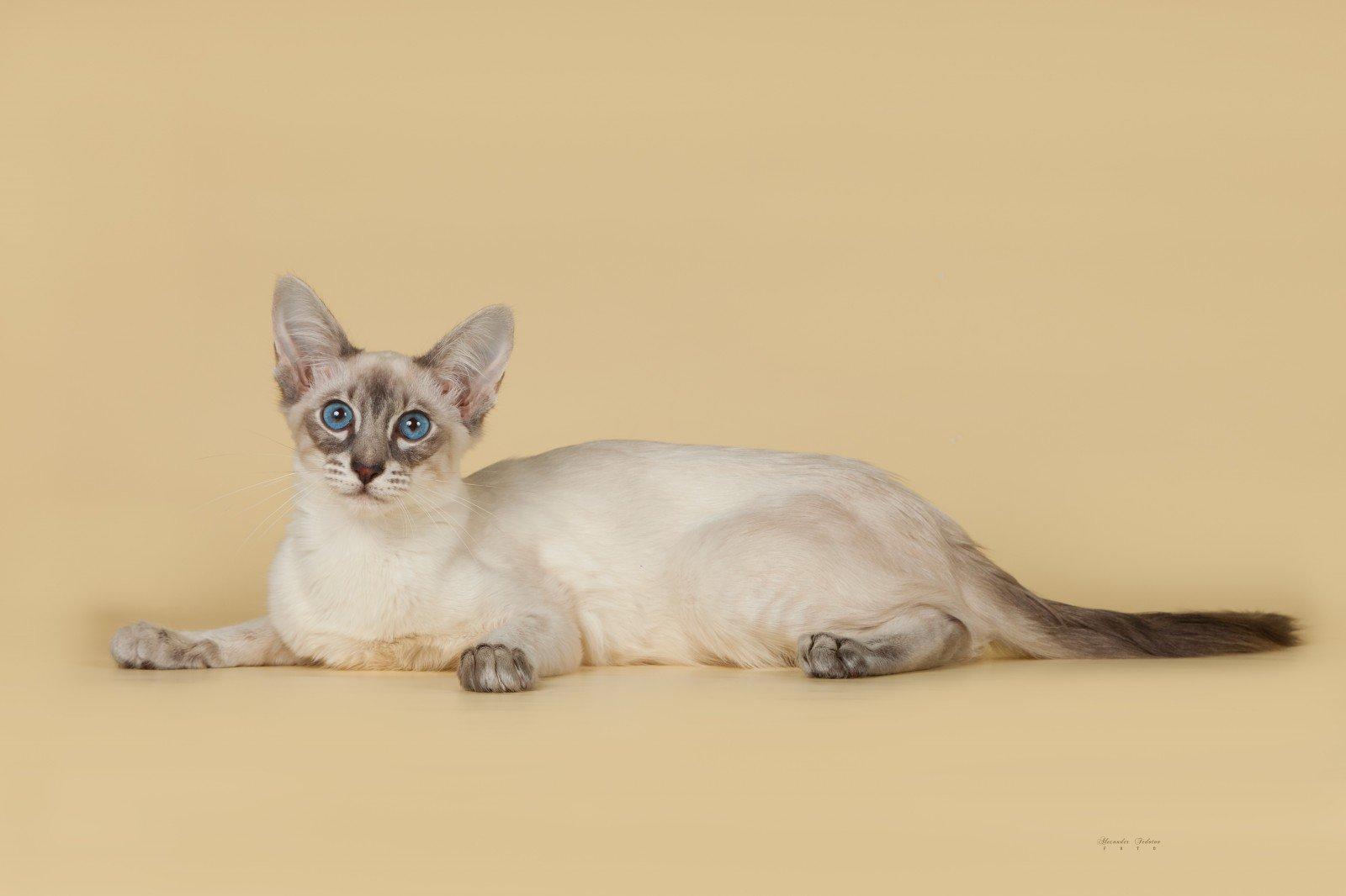 Raza de Gato Balinés