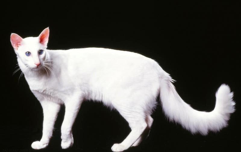 Gato Oriental De Pelo Largo
