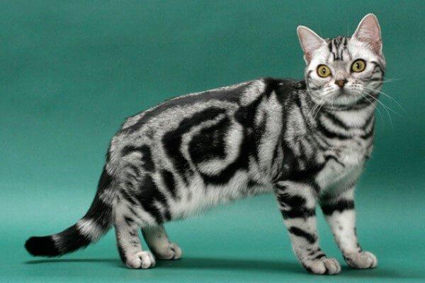 Raza de Gato Americano de pelo corto