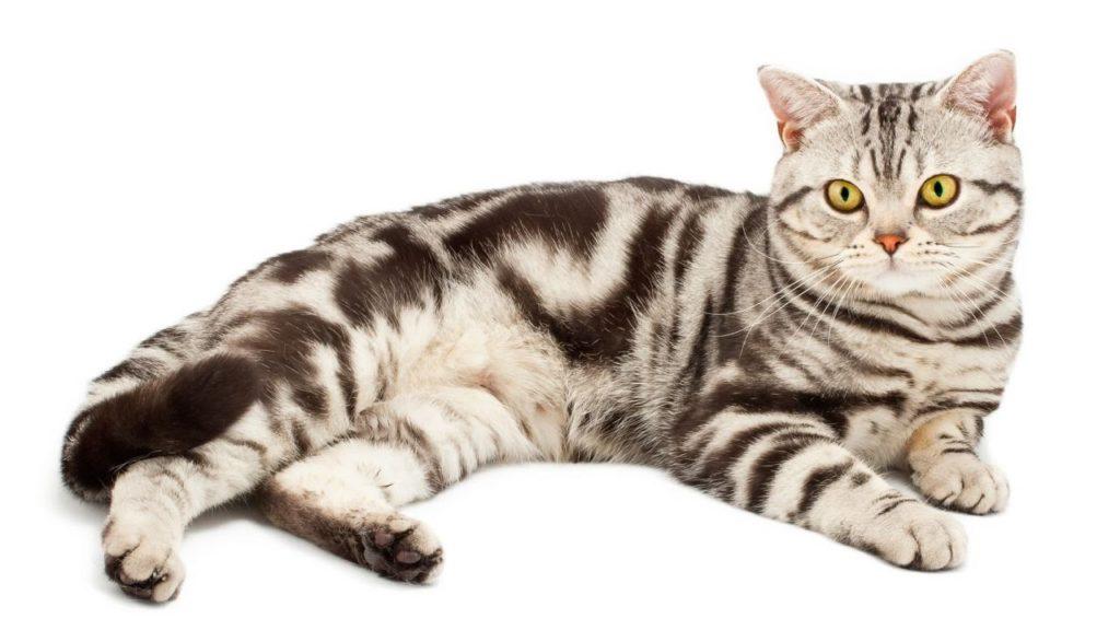 Gato Raza Americano de pelo corto