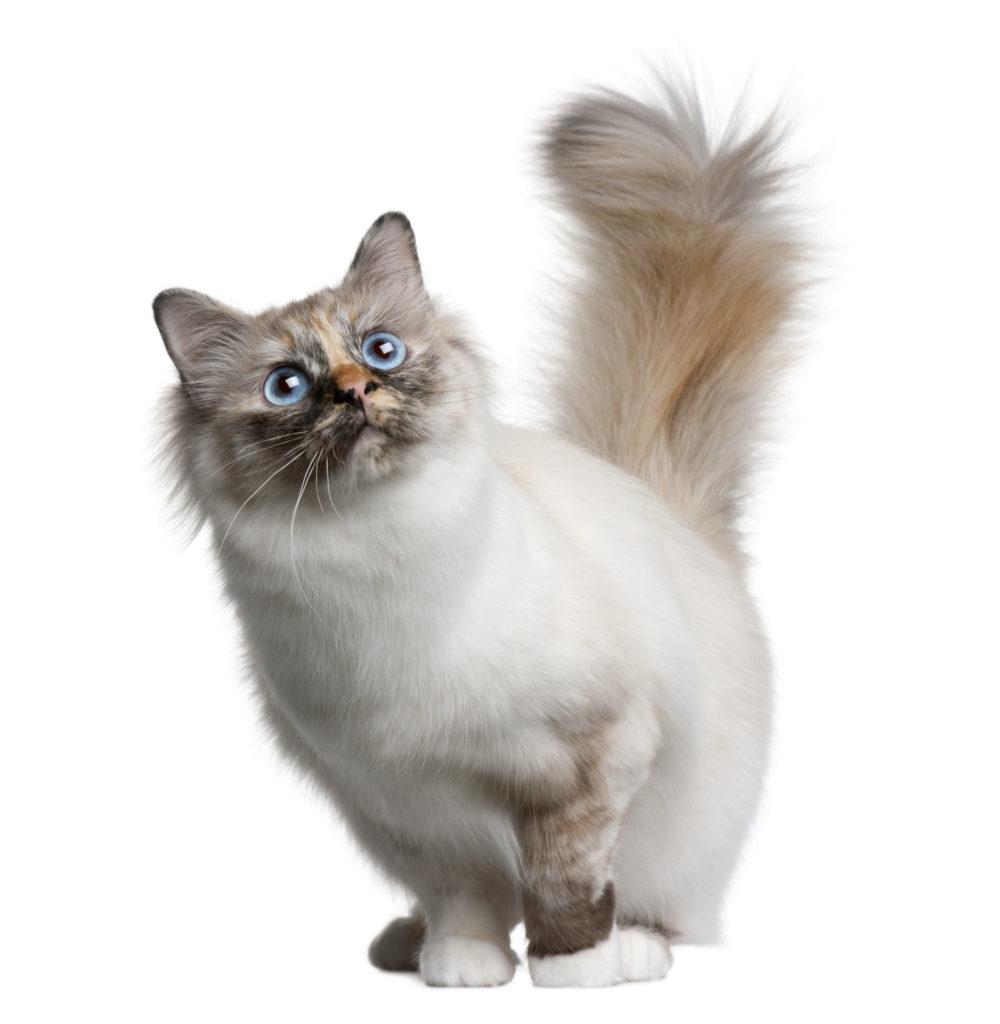 Gato Raza Birmano