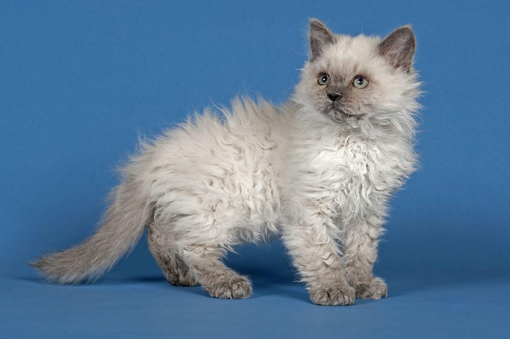 Gato de raza Selkirk Rex