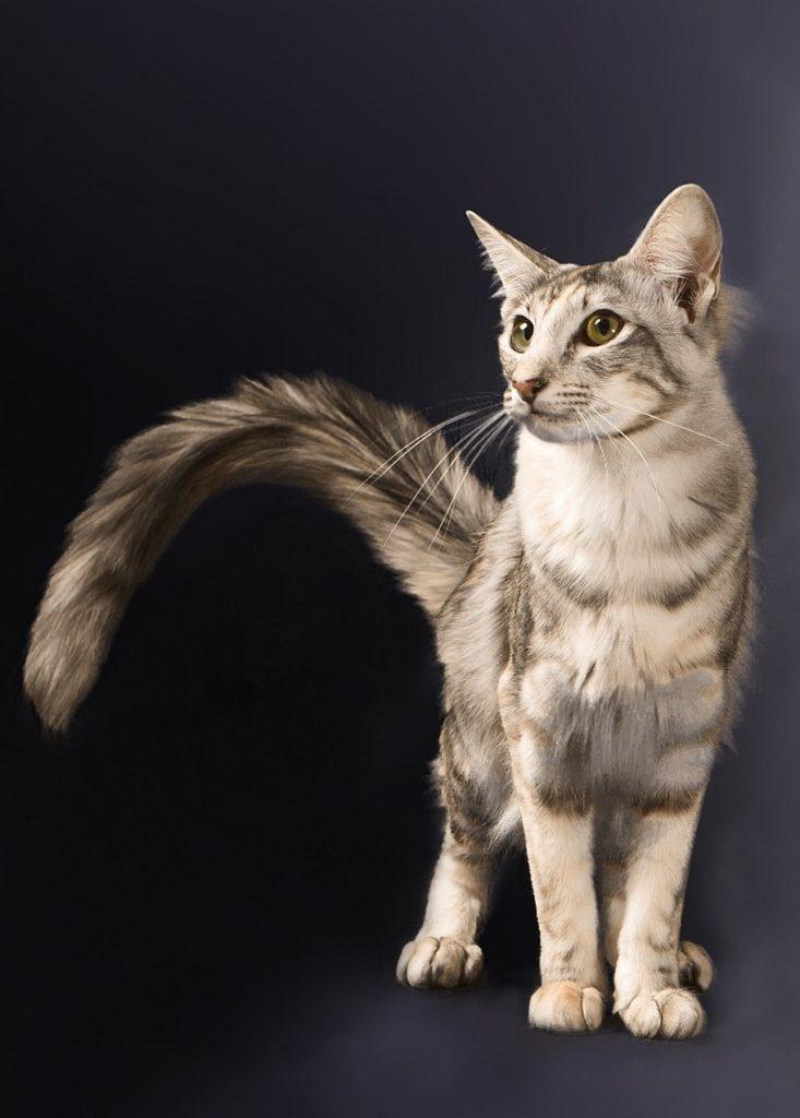 Gato oriental raza pelo largo