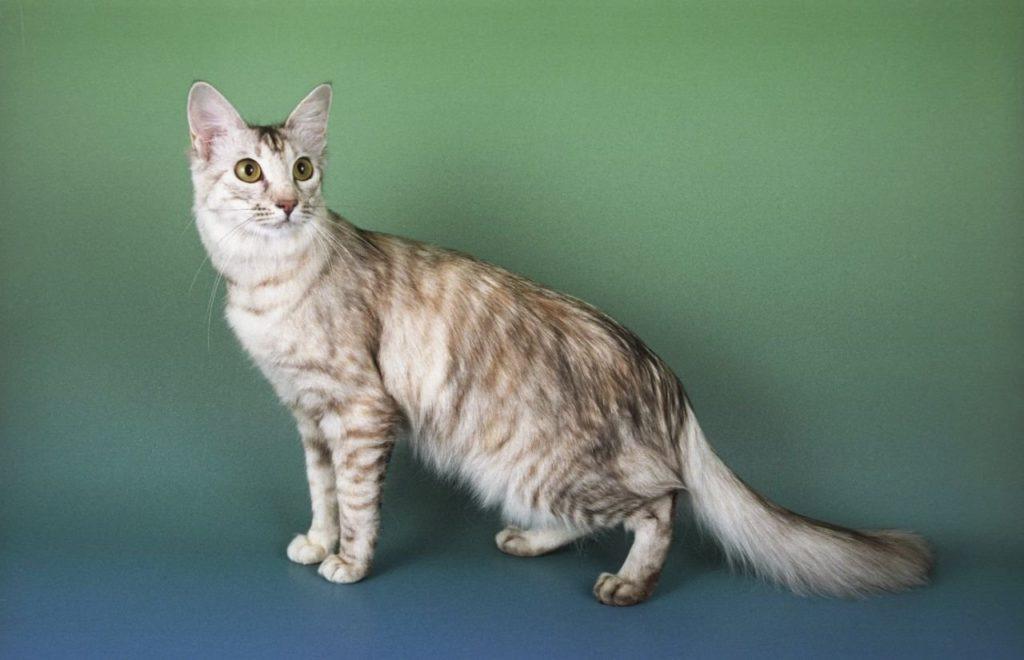 gato raza Oriental De Pelo Largo