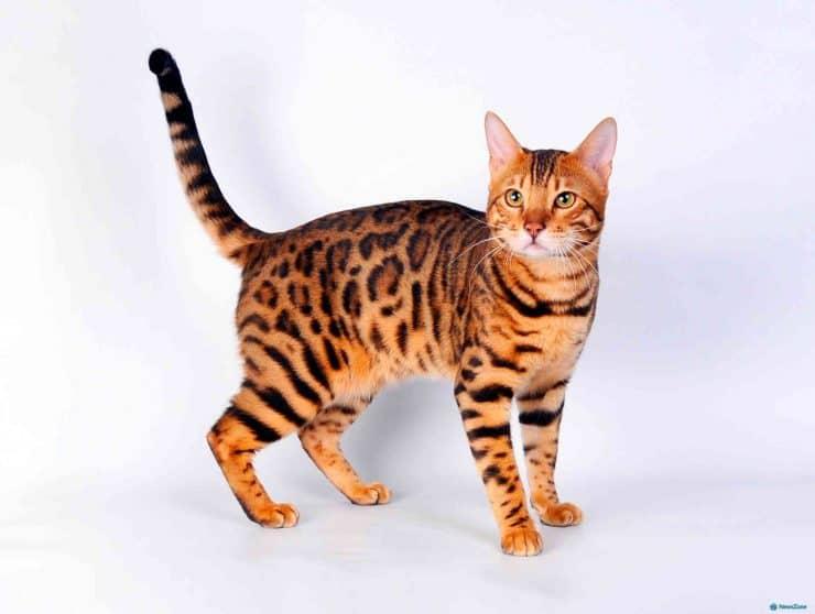 Gato de raza Bengalí