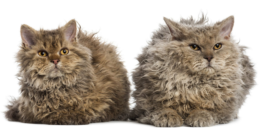 Gatos pelo suave Selkirk Rex