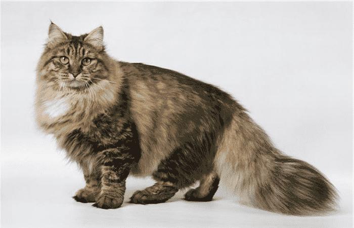 Gato Bosque De Siberia