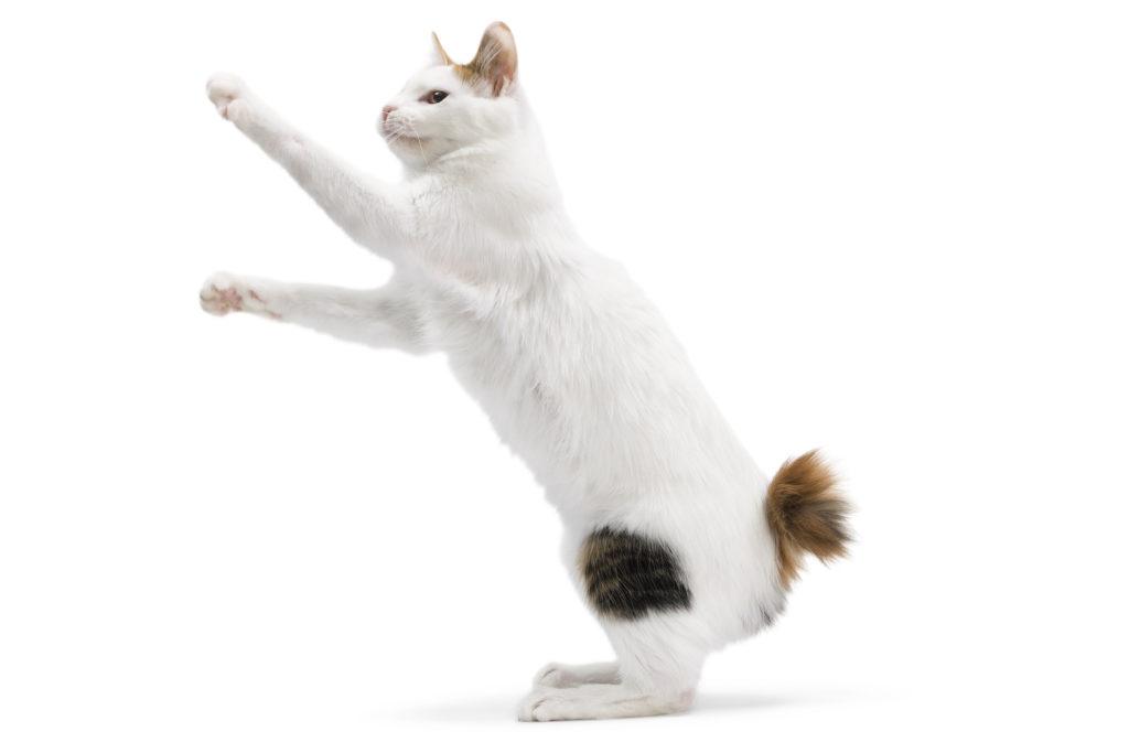 Japonés Gato Bobtail
