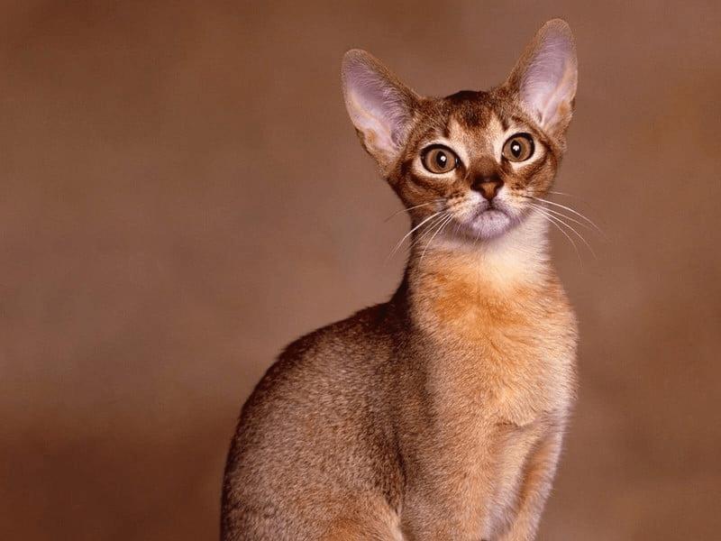 Gato de Raza Abisinio