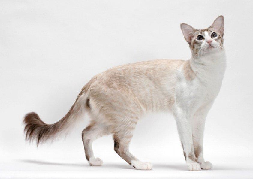 Gato de raza Balinés