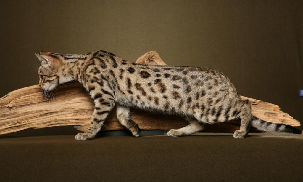 Raza de gato Bengalí