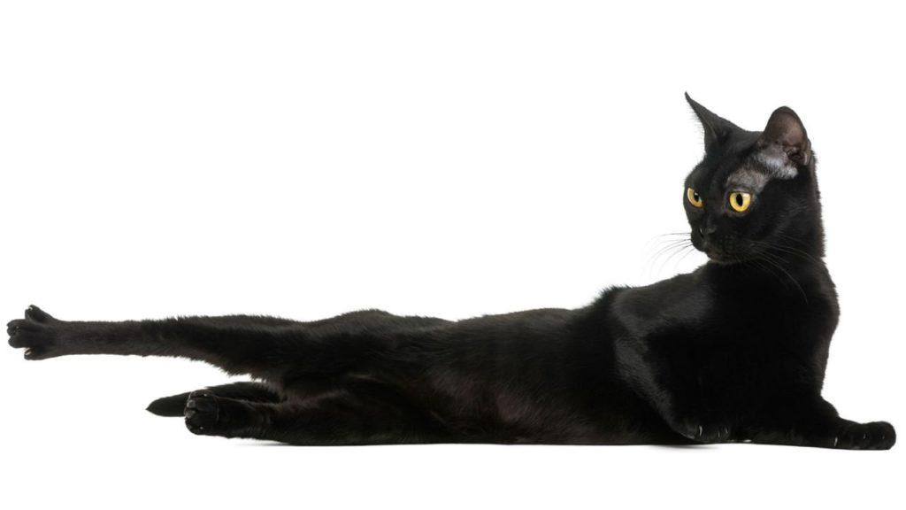 Gato Bombay