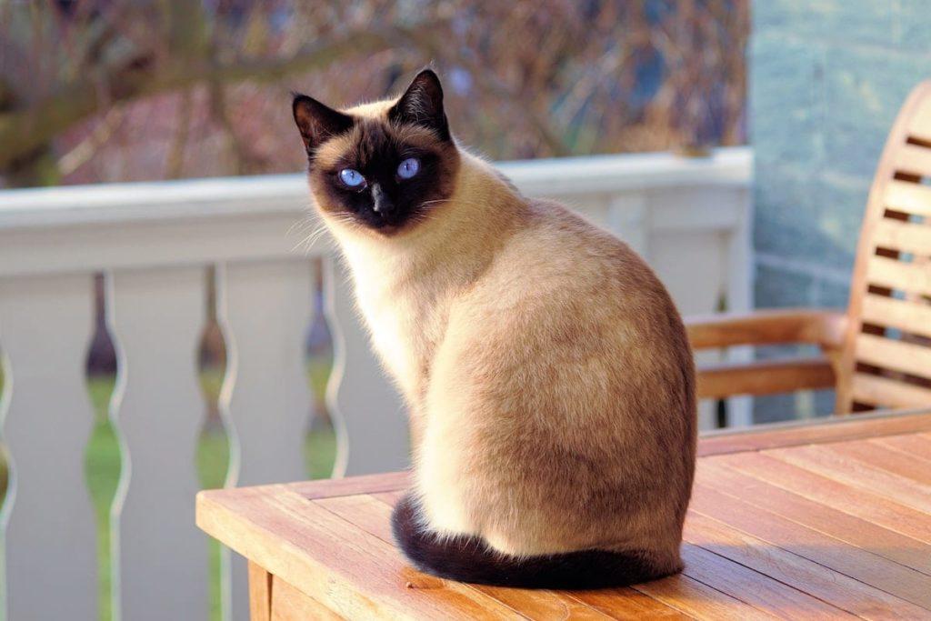 Adorable Gato Siamés