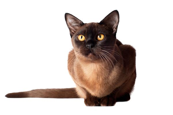 Gato Raza Burmés