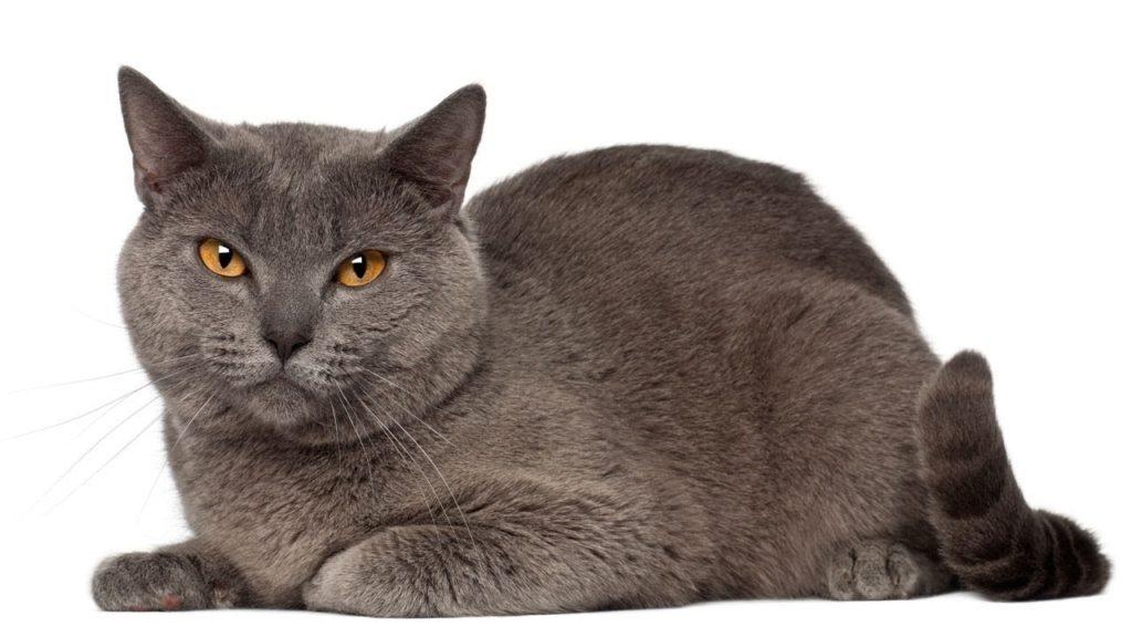Chartreux, Raza de Gato