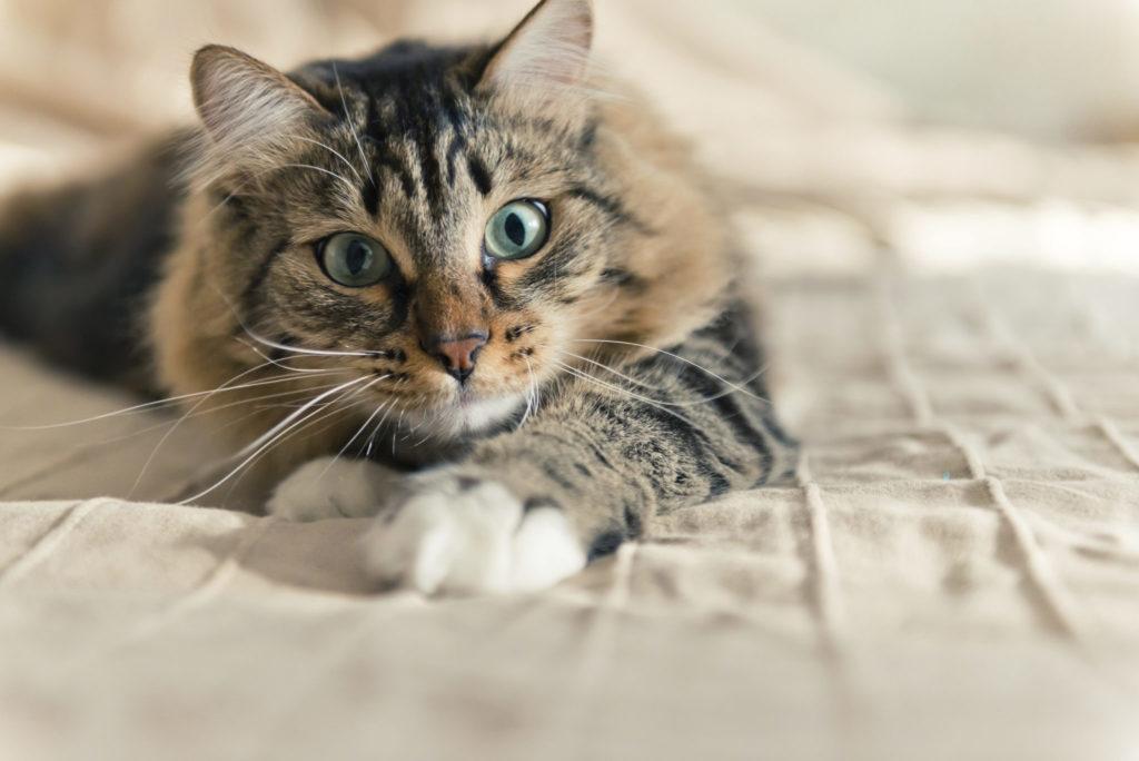 Hermoso gato acostado en la cama