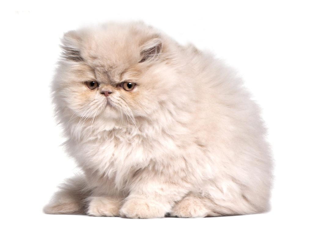 Gato Raza Persa