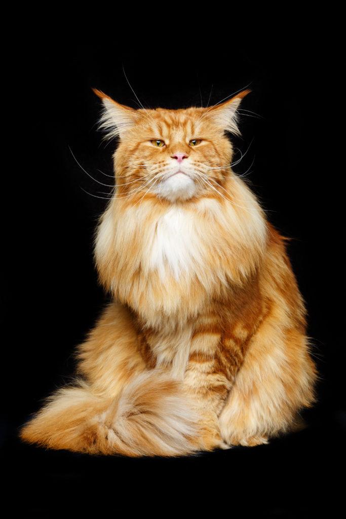 Gato Maine Coon Anaranjado
