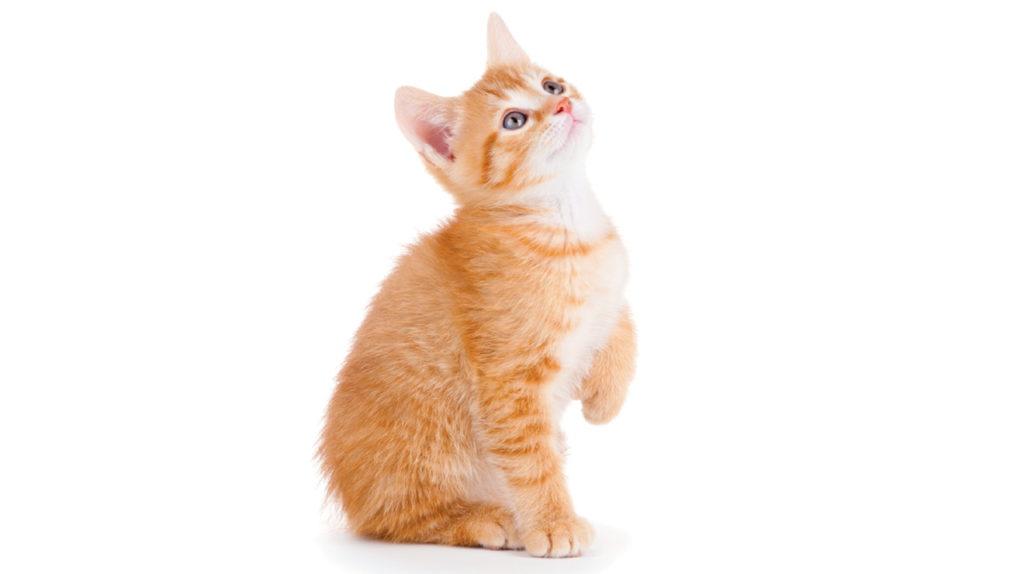 Gato Anaranjado de Raza Manx