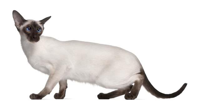 Raza de Gato Siamés