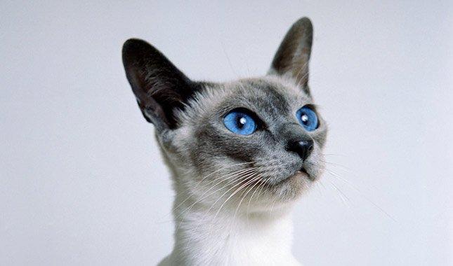 Rostro de Gato Siamés