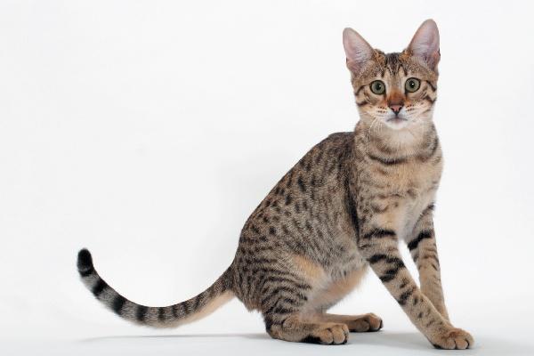 Raza de Gato Savannah