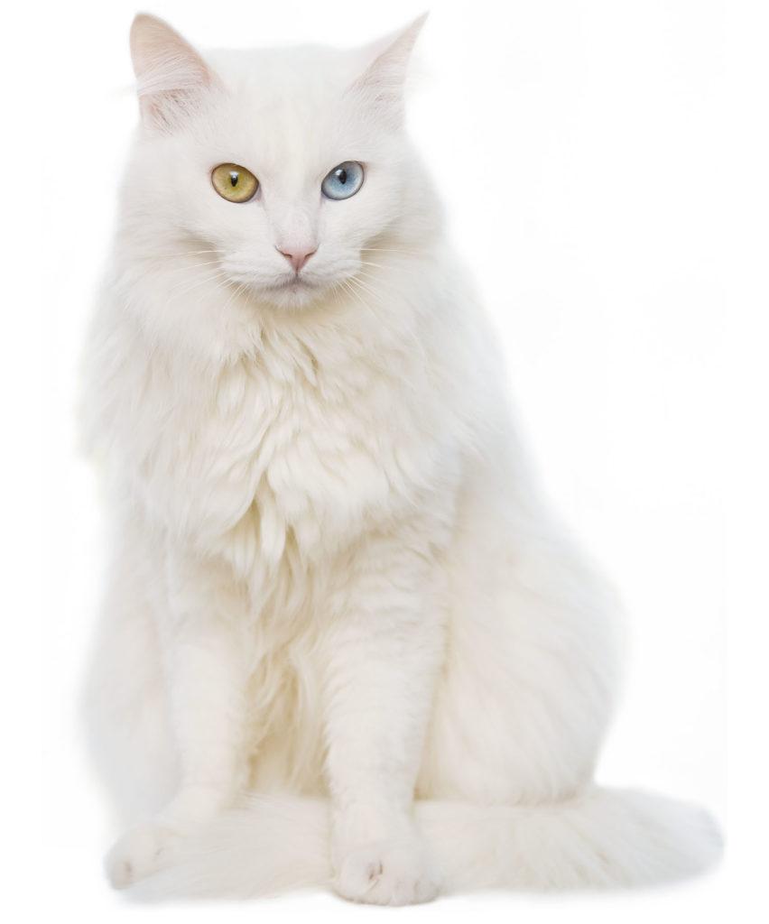 Gato de Raza Angora Turco