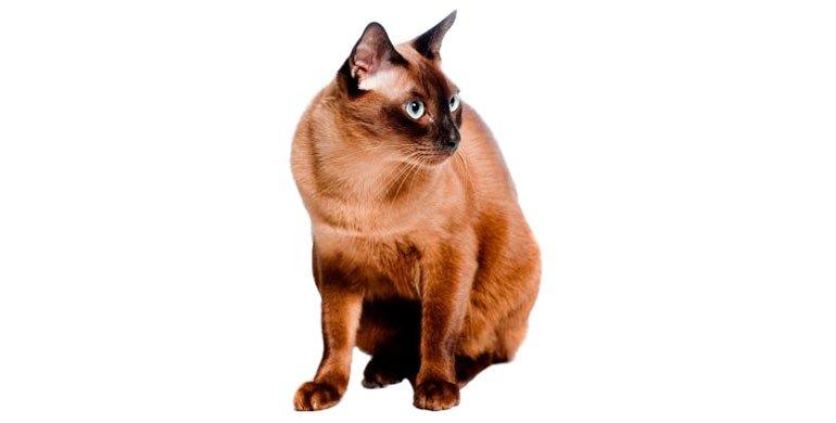 Burmés Gato