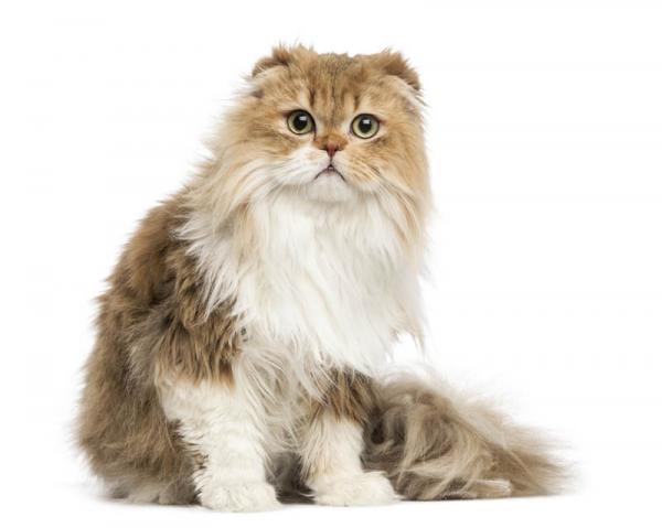Gato adulto Fold Escocés