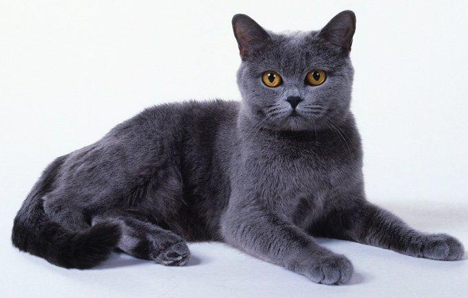 Gato de Raza Chartreux