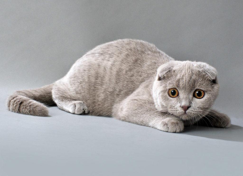 Gato Highland Fold