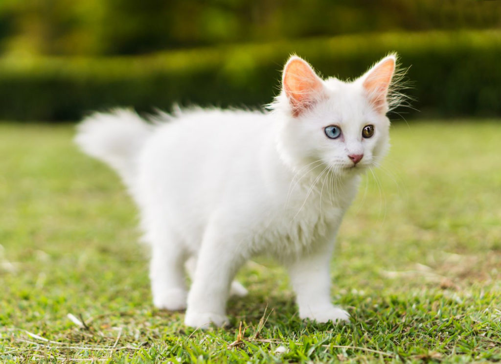 Gatito blanco Khao Manee