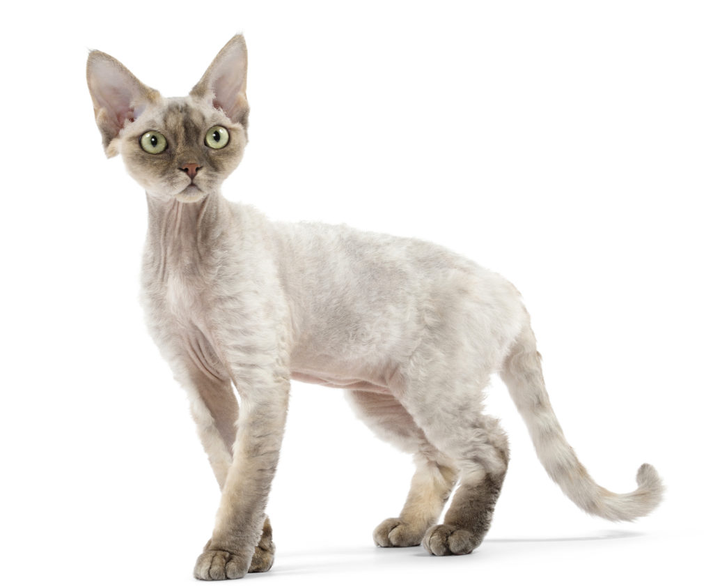 Gato Raza Devon Rex