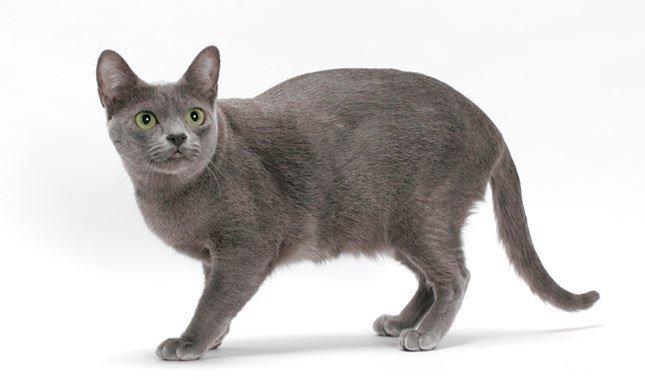 Gato de Tailandia, Korat