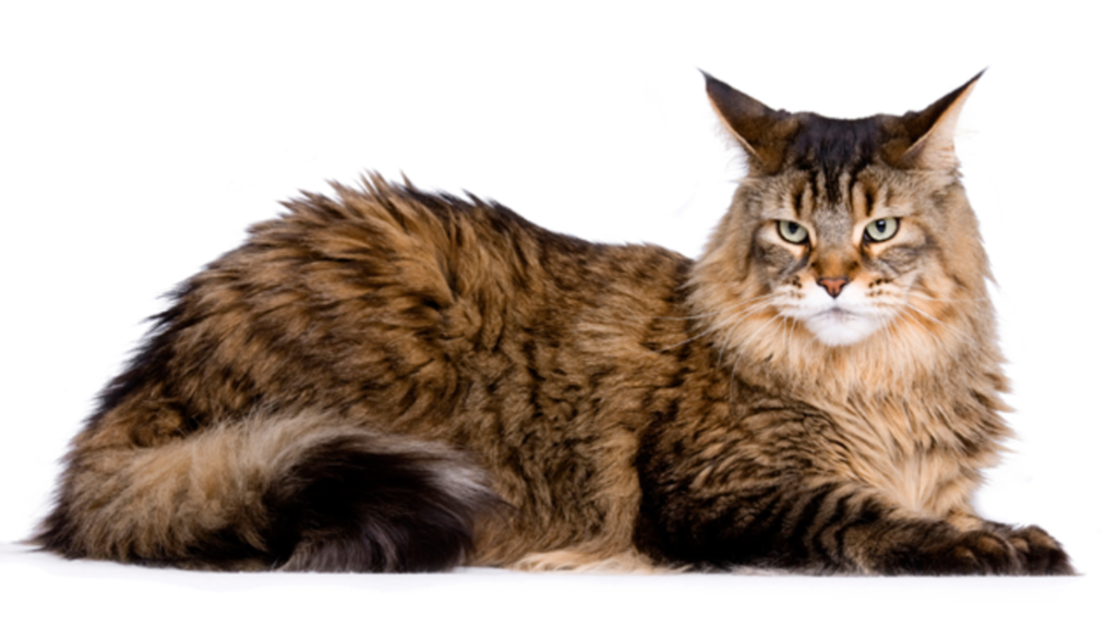 Gato Maine Coon Cat