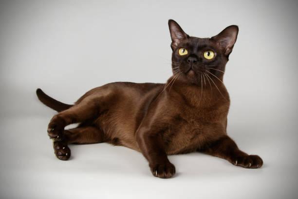 Raza de Gato Burmés