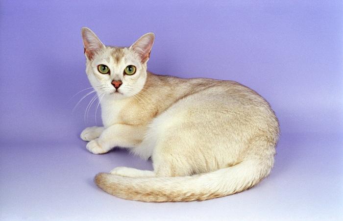 Gato de Raza Burmilla