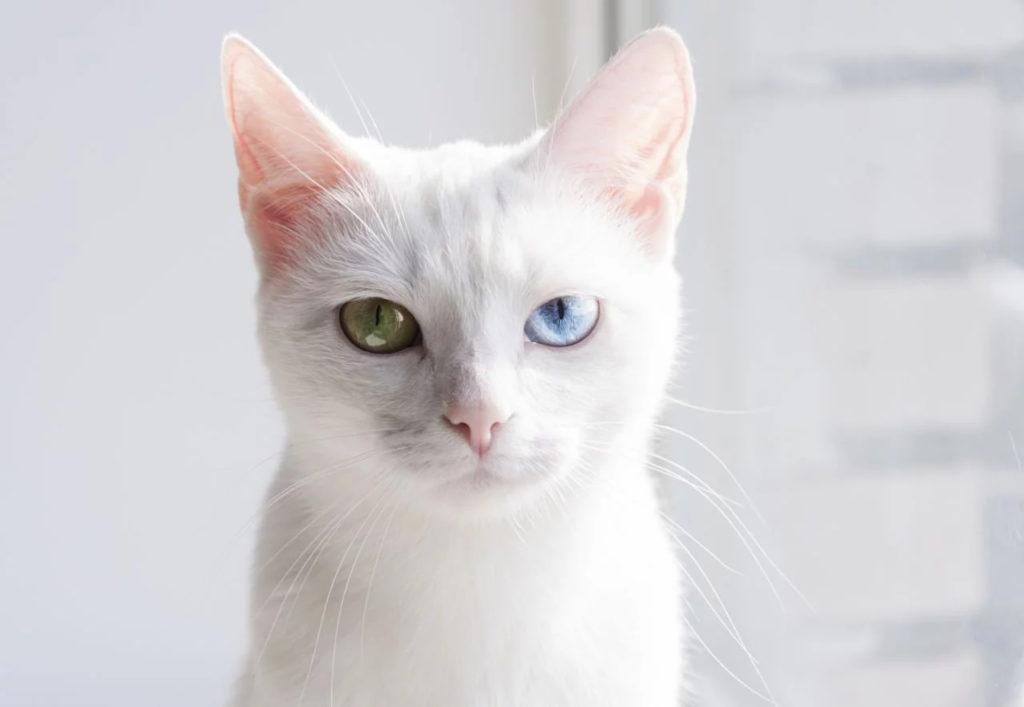 Gato de Raza Khao Manee