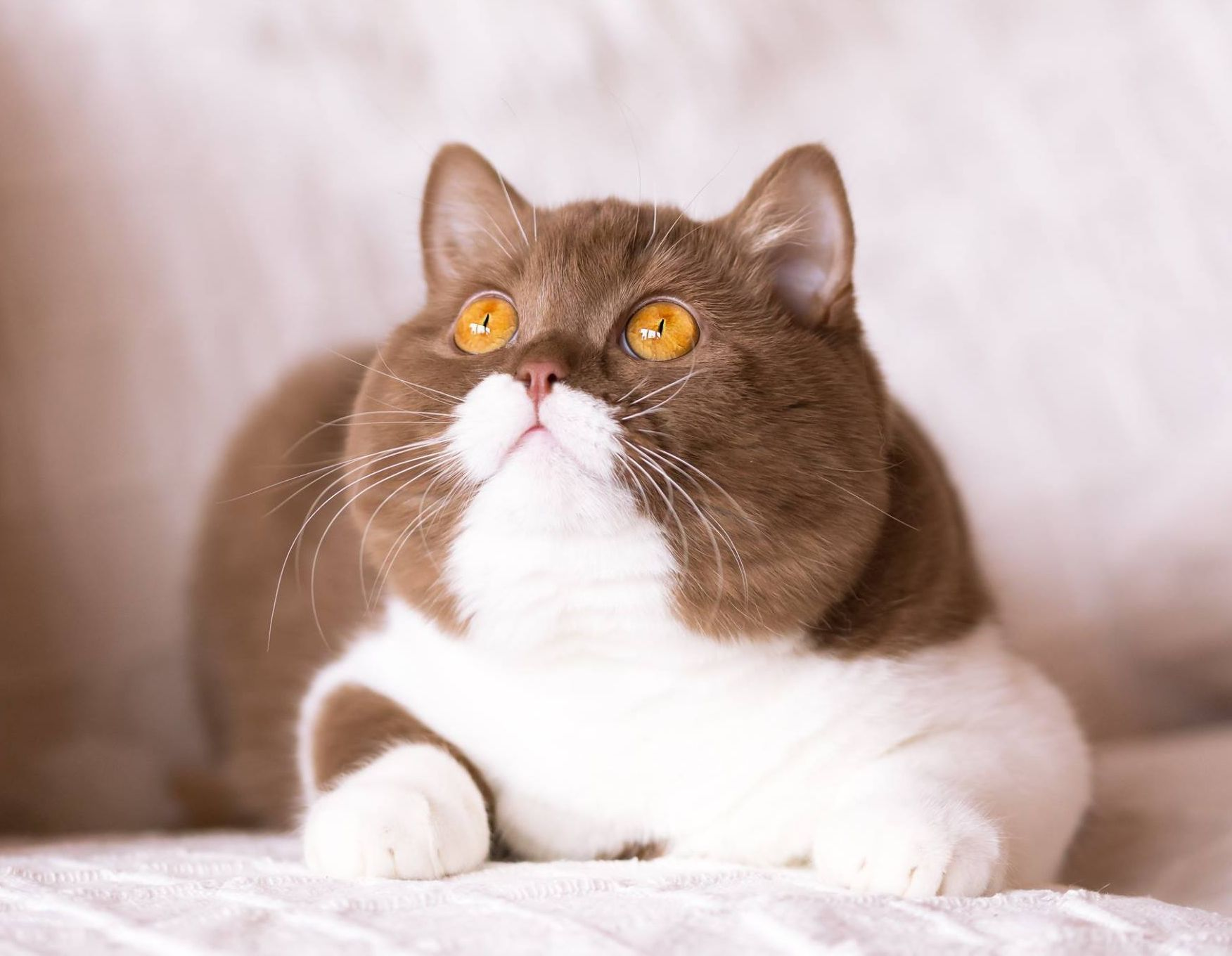 Raza de Gato Exótico De Pelo Corto
