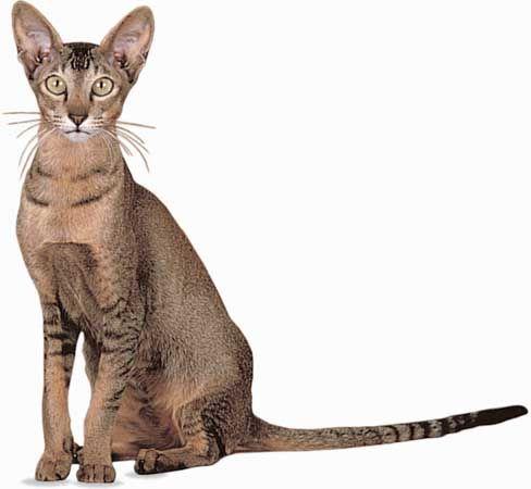 Gato de Raza Oriental de Pelo Corto