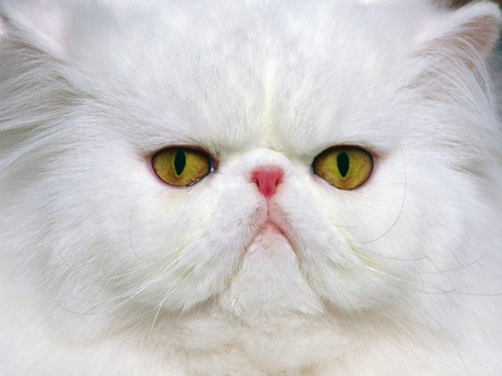 Gato Chinchilla