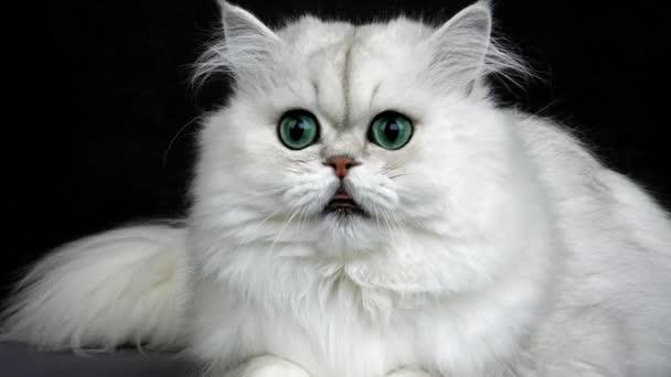 Gato Persa Chinchilla