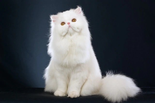 Gato Persa Raza Chinchilla