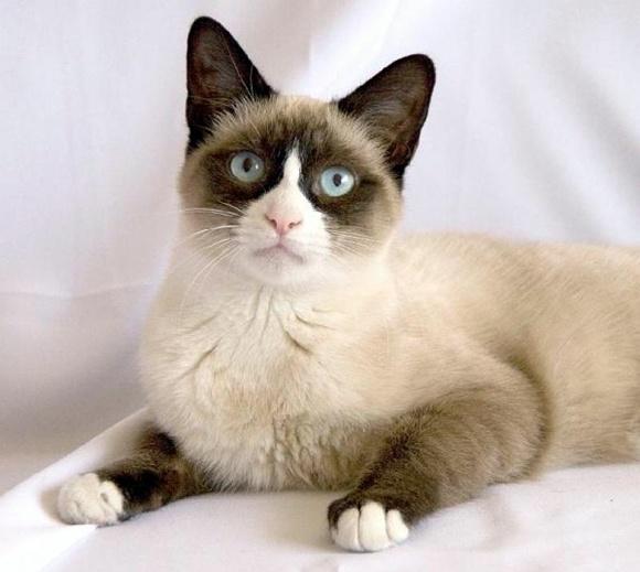Gato Raqueta de Nieve Snowshoe