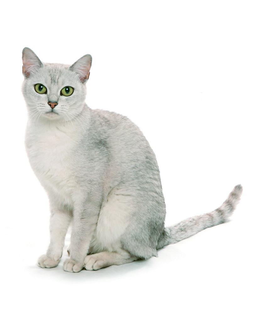 Gato Raza Burmilla