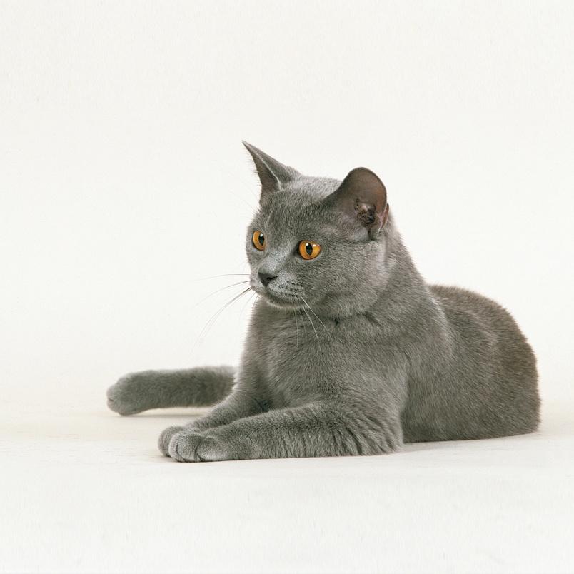 Gato Rraza Chartreux