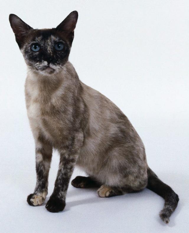 Gato Raza Tonquinés