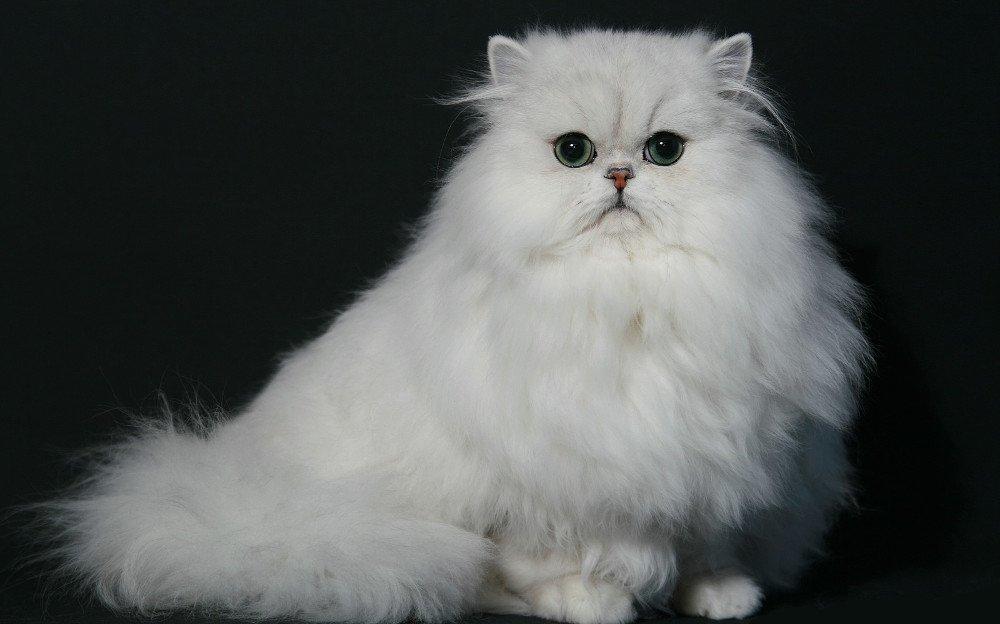 Gato Raza Chinchilla