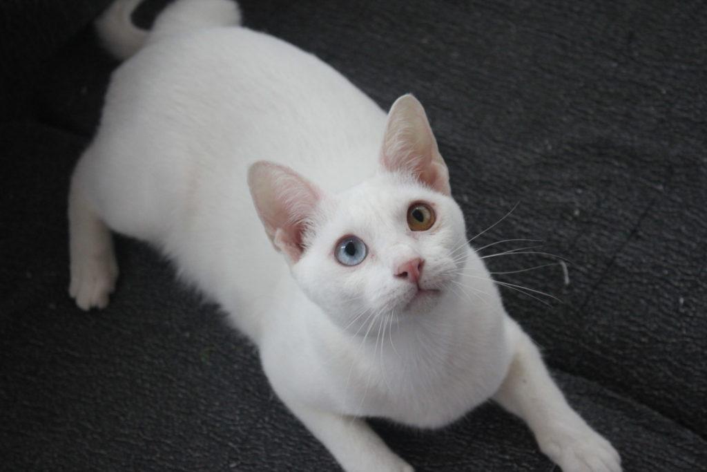 Gato Raza Khao Manee