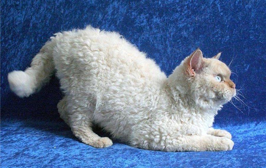 Gato Raza Laperm Pelo Rizado